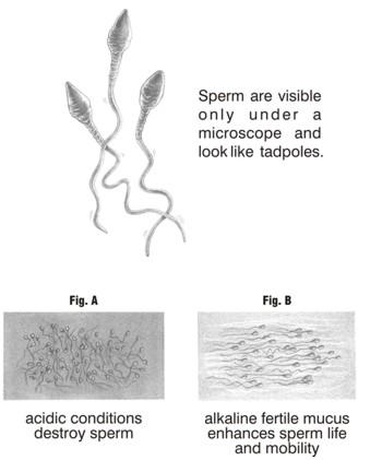 acidic Is sperm