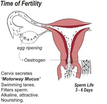 through of sperm vagina path Traveled