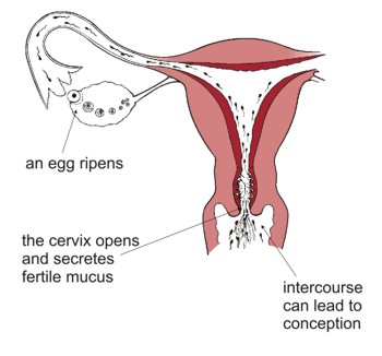 Fertility education trust as an egg ripens the cervix opens and secretes fertile mucus intercourse can lead to ccuart Choice Image